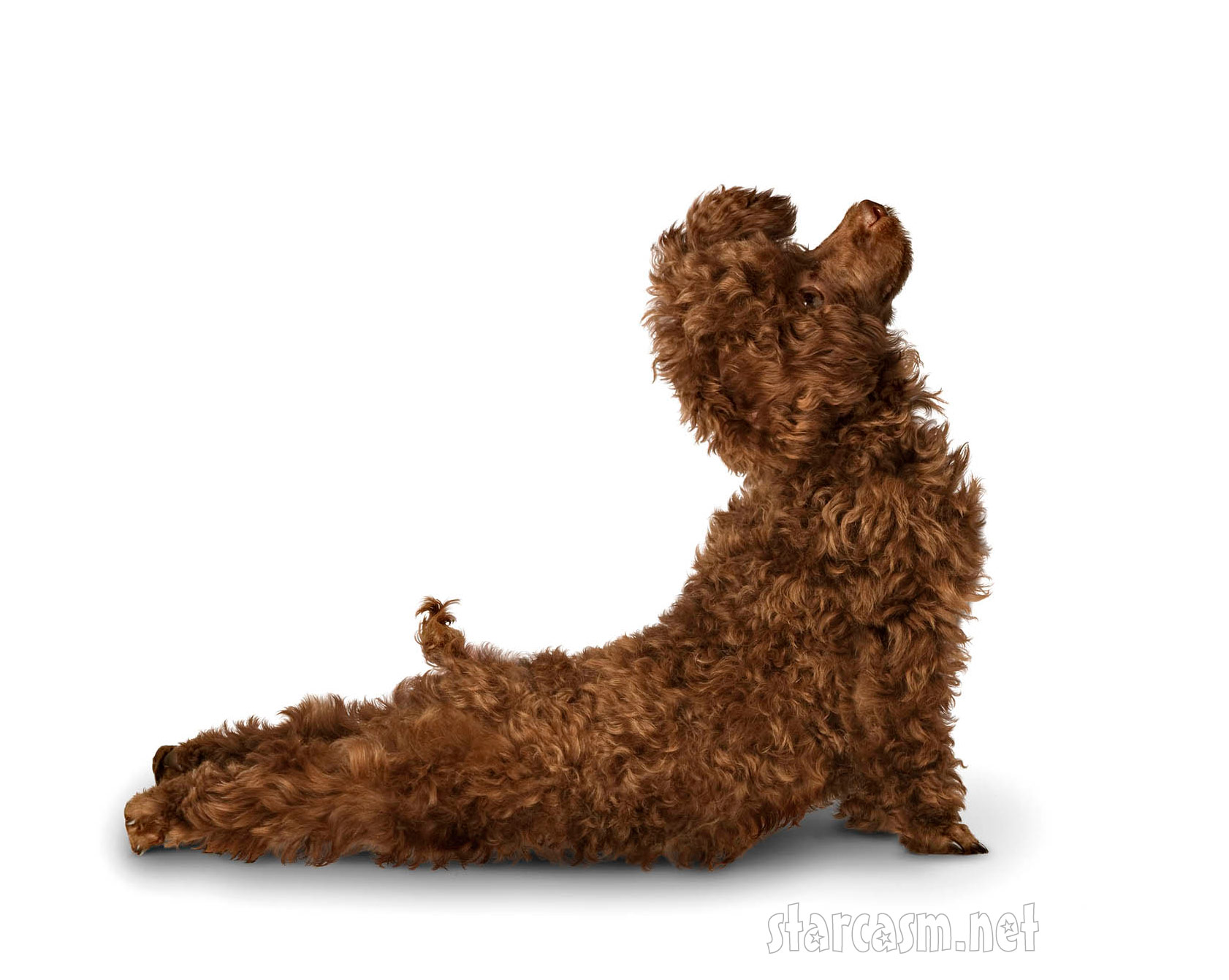The yoga dogs wall calendar features a variety of pooches in various
