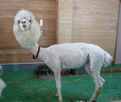Sheared naked alpaca initially misidentified as a naked llama
