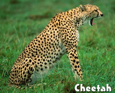 cheetah spots on cheetah fur