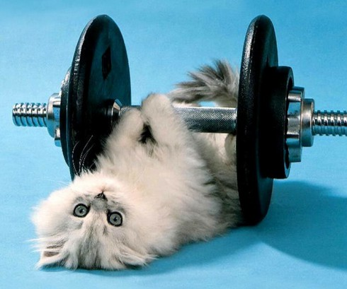 Kitten lifting weights