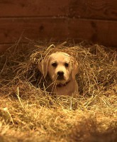 Budweiser Puppy Super Bowl 2015