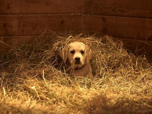 Budweiser Puppy Super Bowl 2015