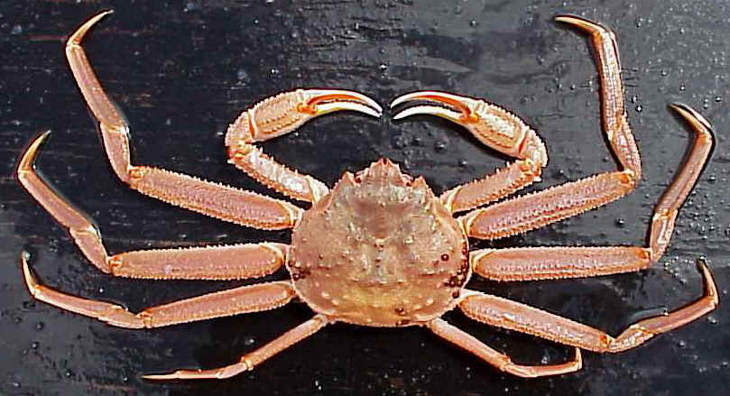 DEADLIEST CATCH What is a Bairdi tanner crab? How is it different than an opilio snow crab ...