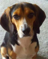 beagle_Molly_Craigslist_tn