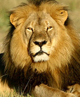Cecil_the_lion_tn