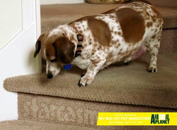 Animal Planet fat pets show
