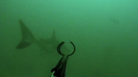 Spearfisherman video footage of Great White Shark encounter