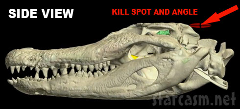 Where to shoot an alligator - the quarter sized kill spot side view photo