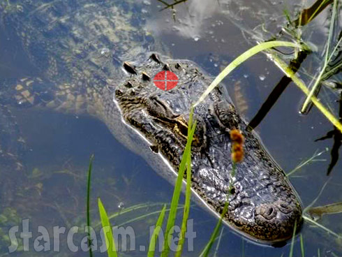 Illustration of where the quarter sized kill spot is located on an alligator's head