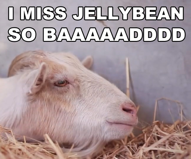 Sad Goat: VIDEO Mr G The Sad Goat And His Bff Jellybean The Burro