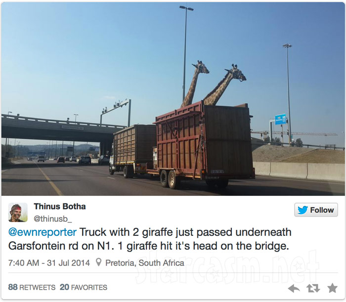 Photos Giraffe Dies After Head Hits Bridge Just Like Hangover 3 Scene