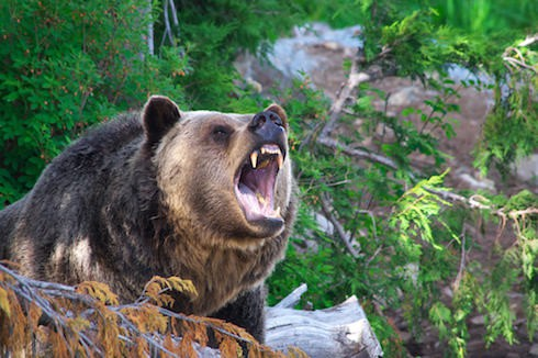 The Revenant Grizzly bear