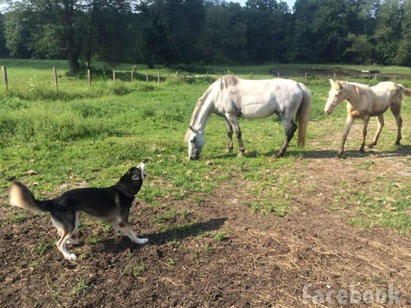 Nathan Griffith's dog husky Mugen with horses on a ranch in Ohio