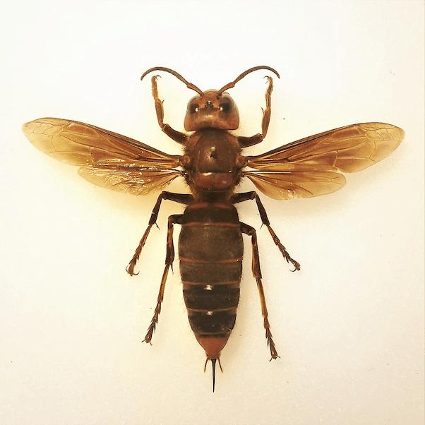 Murder hornet nest 1