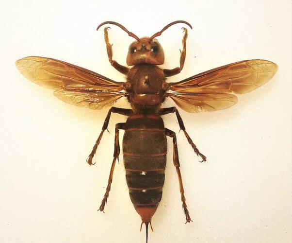 Murder hornet nest 2